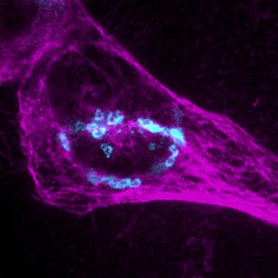 U2OS cells