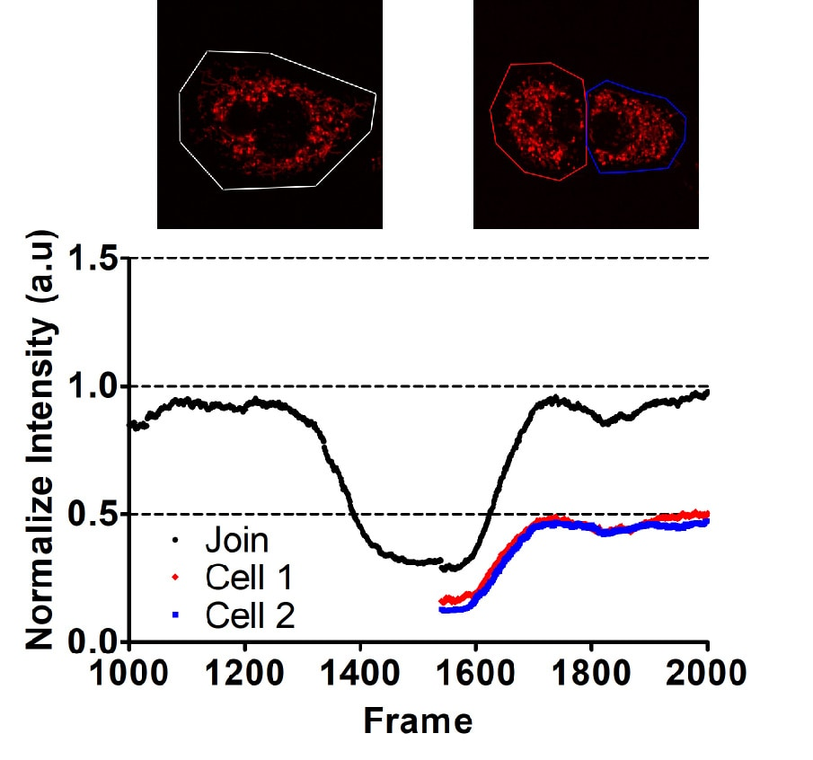 Figure 5a. The initial fluorescence of the mother cell is equally distributed to its daughter cells.